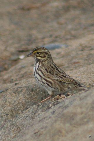Savannah Sparrow (Belding)