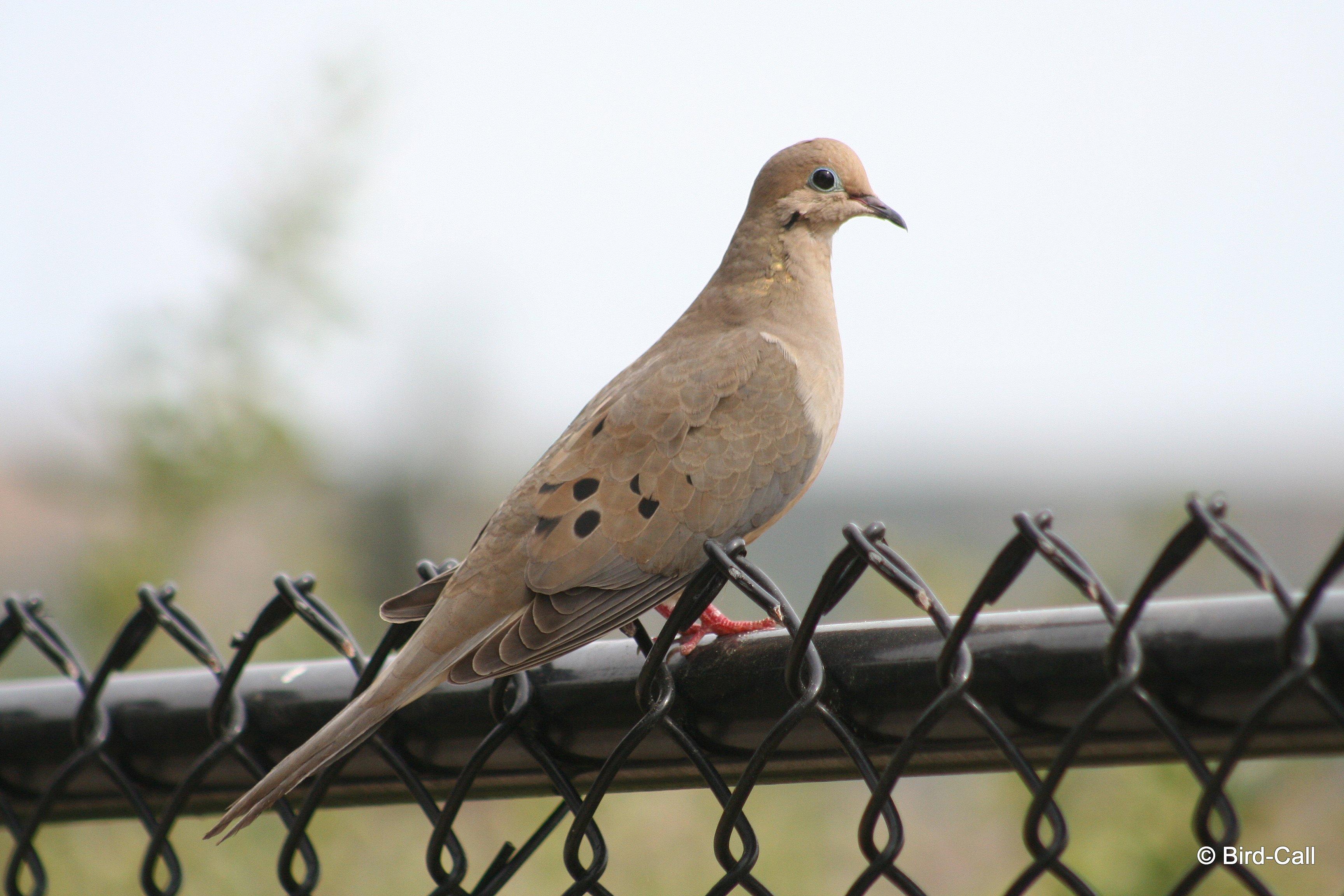 Bird call october 2014 mourning dove buycottarizona