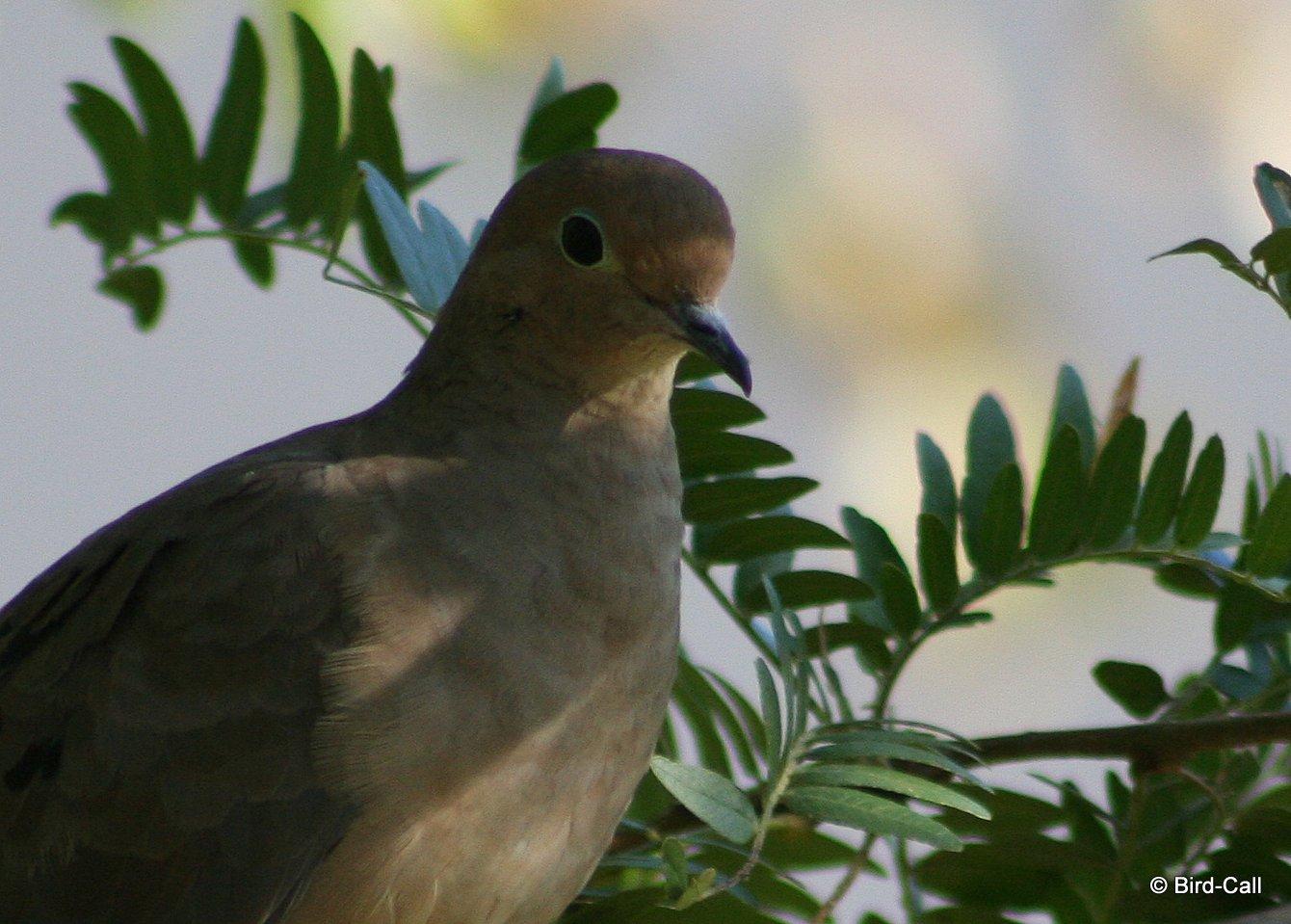 Mourning dove bird call img8483 001 buycottarizona