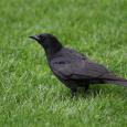 Northern crow