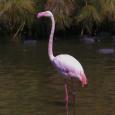 Lesser Flamingo-1