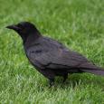 American Crow-1